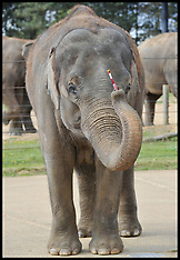 Painting Elephant Whipsnade Zoo-19-9-12