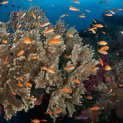 Pseudanthias squamipinnis orange basslets with sea fans on top of the arch at The Doghouse dive site in Diving Dog Passage on the Barrier Reef of Papua New Guinea