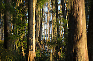 Cyrpress trees along the shore of  Lake Verret in Assumption Parrish, Louisiana.