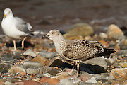 A juvenile herring gull, with an adult in the background, on the beach at Cromarty, Black Isle, Scotland.