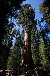 General Sherman, a Giant Sequoia in Sequoia National Park, California, USA that is the world's largest tree (by volume) and the world's largest known single living organism.