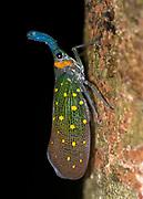 Lantern Bug (Pyrops whiteheadi) from Kinabatangan, Sabah, Borneo.
