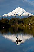 A black swan (Cygnus atratus) swims across New Zealand's Lake Mangamahoe with Taranaki (Mount Egmont) in the background. While black swans were brought from Australia to New Zealand in the 1860s, there's some debate as to whether the species should be considered introduced. Black swan populations grew rapidly, suggesting the many of the birds may have found their own way to the country. The black swan is New Zealand's largest wetland bird.