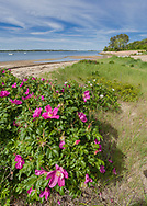 Rugosa roses  fill the forground of this image from Head of the Bay in Chatham.