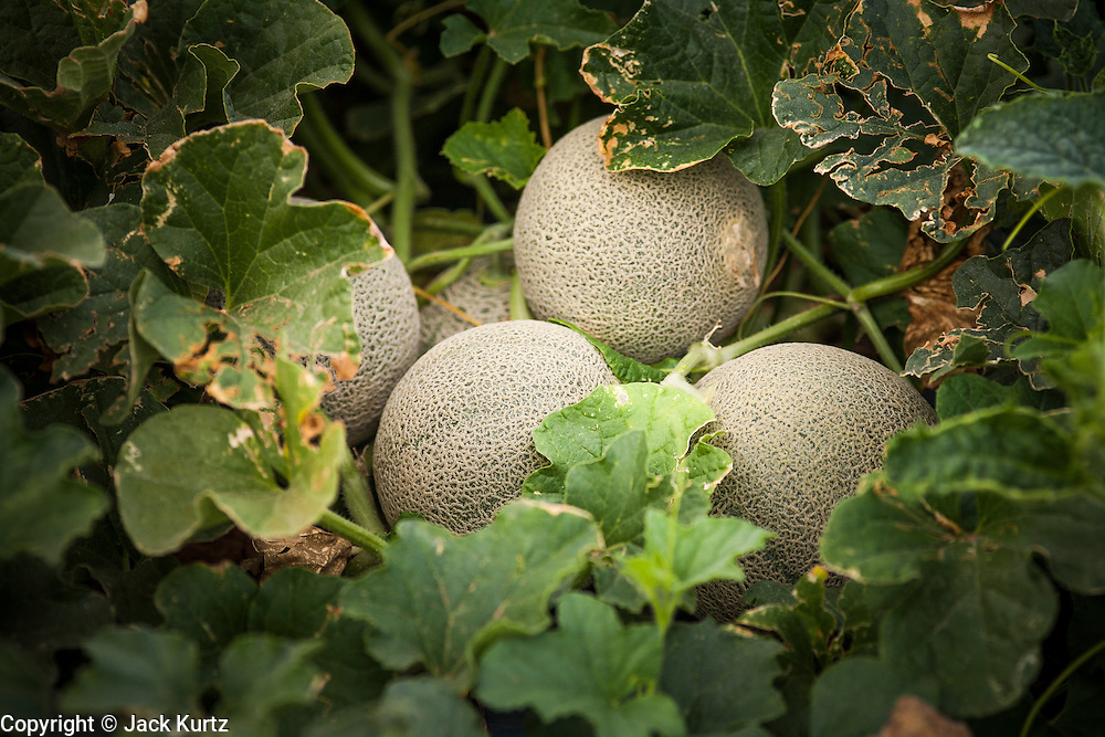 02 OCTOBER 2007 -- Cantaloupe wait to be harvested on a farm about 30 miles west of Buckeye, AZ. PHOTO BY JACK KURTZ