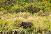 A female adult Brown Bear known as 435 Holly, walks through the high grass at in Katmai National Park and Preserve September 16, 2019 near King Salmon, Alaska. The park spans the worlds largest salmon run with nearly 62 million salmon migrating through the streams which feeds some of the largest bears in the world.
