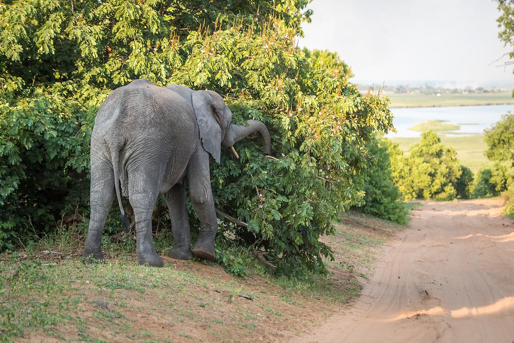 An African bush elephant (Loxodonta africana) forages for something to eat. Chobe National Park - Botswana