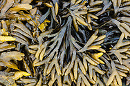 Rockweed (Fucus distichus) at low tide in Resurrection Bay in Southcentral Alaska. Spring. Morning.