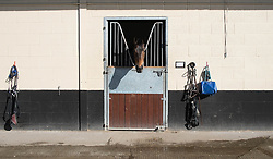 © Licensed to London News Pictures. 22/03/2014<br /> <br /> Middleham, North Yorkshire<br /> <br /> A race horse waits to be exercised at the Mark Johnston stables in Middleham, North Yorkshire. Race horses have been trained in Middleham for over 200 years using the extensive gallops on the high moor. There are currently 15 stables based around the small Yorkshire village.<br /> <br /> Photo credit : Ian Forsyth/LNP