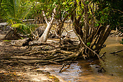 mangrove forest Photographed on Curieuse Island reserve, Seychelles,