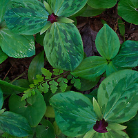 Toadshade (Trillium sessile), lowland brittle fern (Cystopteris protrusa), and Viola leaves cover the ground in a floodplain forest adjacent to the Potomac River, Turkey Run Park, George Washington Memorial Parkway, Virginia.