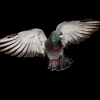 Racing pigeons in flight in the studio in Lexington, Ky, on 9/3/17. Photo by David Stephenson