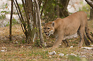 Puma concolor (Mountain Lion): Mammalia: Carnivora: Felidae<br /> Mexico: Quintana Roo<br /> Parque Xcaret in Cancun<br /> 29.April.2008<br /> J.C. Abbott