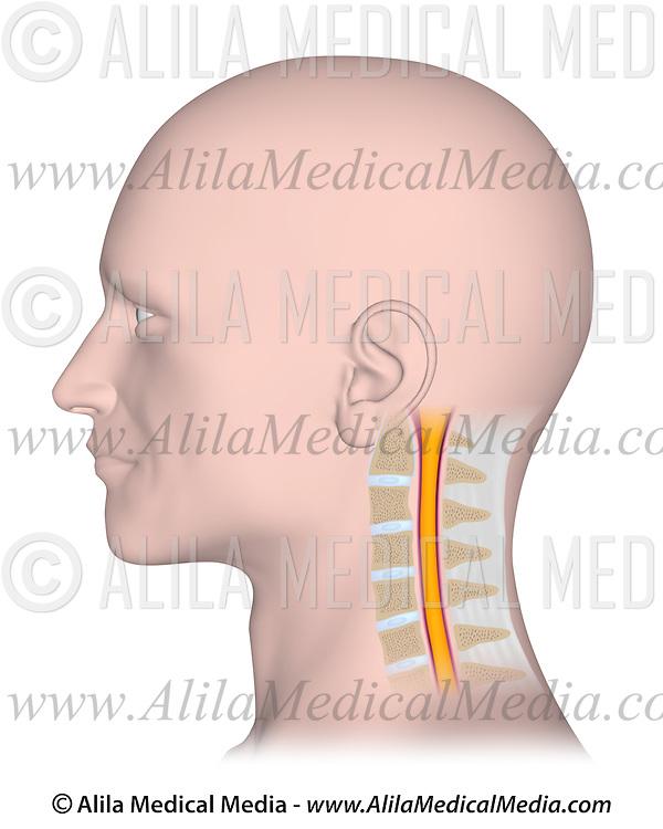 Cervical Vertebae With Spinal Cord Alila Medical Images