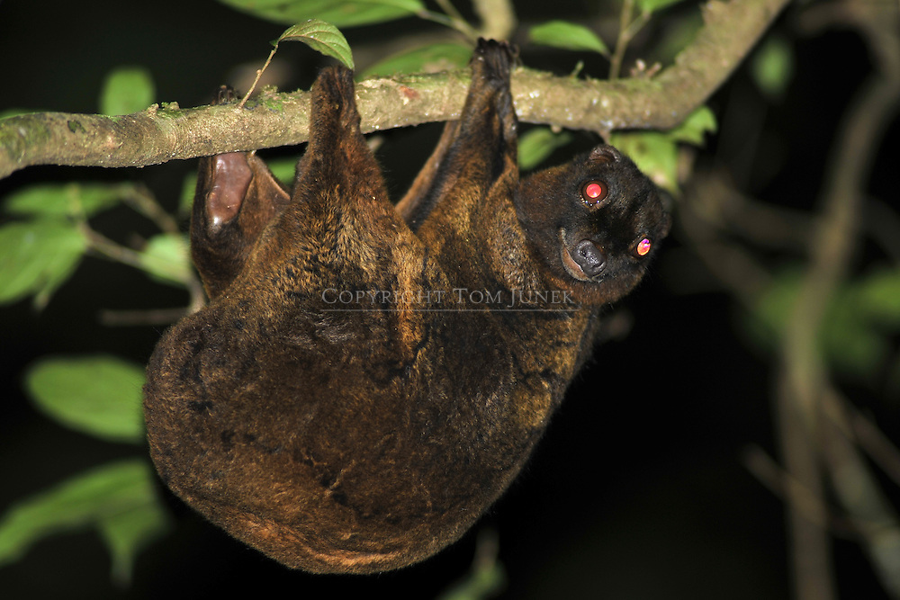 Philippine flying lemur, Cynocephalus volans, galéopithèque