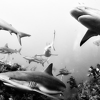 Silky and reef sharks in Jardines de la Reina, Cuba.