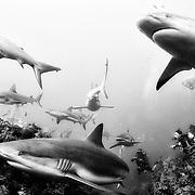 Silky and reef sharks in Jardines de la Reina, Cuba.