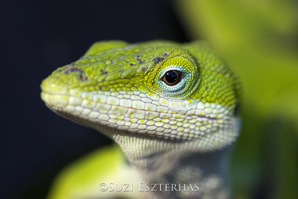 Green Anole <br /> Anolis Caroline sis<br /> Red Corral Ranch, Texas