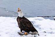 Bald Eagle (Haliaeetus leucocephalus) vocalizes in the Chilkat Bald Eagle Preserve in Southeast Alaska. Winter. Morning.