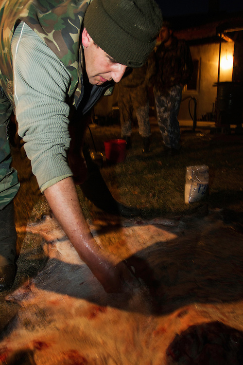 Romanian hunter salting the hide of a female Wild boar (Sus scrofa) that was shot during a driving hunt in the forest area outside the village of Mehadia, Caras Severin, Romania.