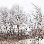 Group of Birch tree (Betulaceae) with frost on the branches and  bushes in the front in the snow
