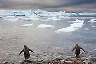 Gentoo penguins on rocky beach, Pygoscelis papua, Antarctica
