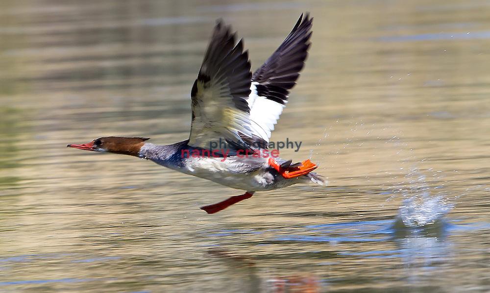 A female Merganser takes flight from the Missouri River near Eagle Creek, Montana.