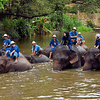 Mahouts Bathing Elephants in Pond in Hang Chat, Thailand<br /> Twice a day the elephants at the Elephant Conservation Center in northern Thailand are led by their mahouts or professional keepers towards a pond where they are bathed and cooled off. Notice how the men seem relaxed on the backs of these giant animals yet the women are desperately holding on. That is because they are part of a homestay program where you are taught to care for an elephant for a few days.  On day one, it is very easy to fall off your swimming elephant.
