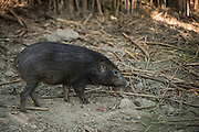 Pygmy hog (Porcula salvania)<br /> Nameri Wildlife Reserve - Pygmy Hog Conservation Programme. Captive<br /> Assam<br /> North East India<br /> Previous range: spread across India, Nepal, and Bhutan, but now only found in Assam<br /> CRITICALLY ENDANGERED