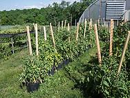 Harmony Farm, Goshen, NY  - tomatoes