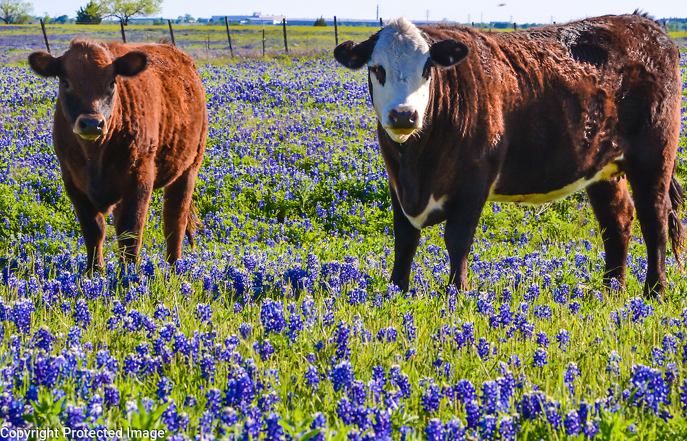Texas cows in a field of buebonnets