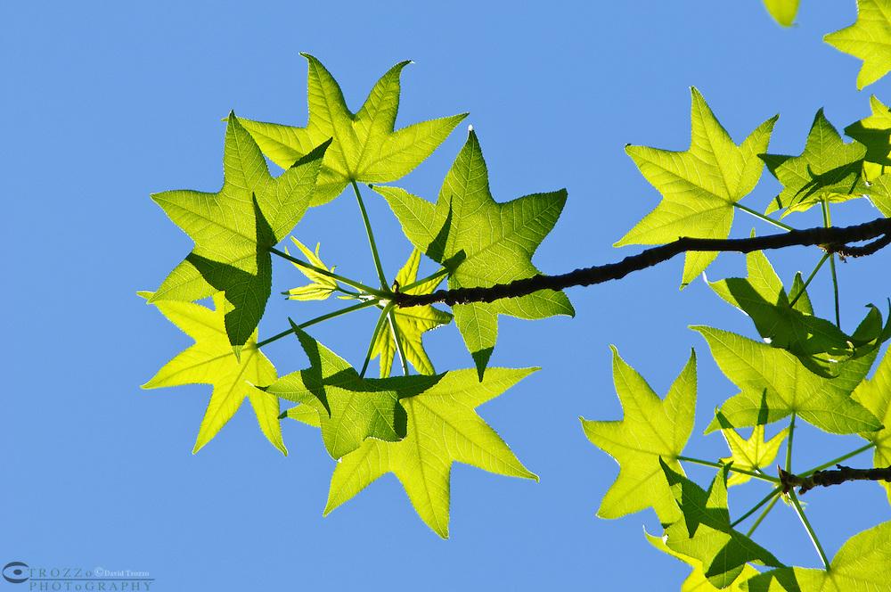 American Sweetgum tree leaves in early spring