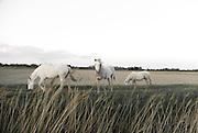 Horses, La Camargue, France.