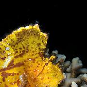 Leaf Fish Taenianotus triacanthus at Lembeh Straits, Indonesia.