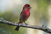 House Finch (Carpodacus mexicanus)<br /> Little St Simon's Island, Barrier Islands, Georgia<br /> USA<br /> HABITAT & RANGE: Urban & suburban in North America