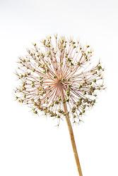 Seedhead of Allium cristophii syn. Allium christophii, Allium albopilosum
