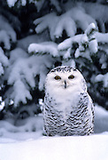 A snowy owl (Nyctea scandiaca) in the snow.