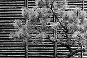 Japanese Black Pine and bamboo screen at the Portland Japanese Gardens