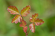 Spring growth leaves of Poison Oak at Mount Pisgah Arboretum, Willamette Valley, Oregon.
