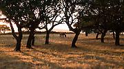 A horse grazes in the late evening sunshine on a farm near Bosa, Sardinia