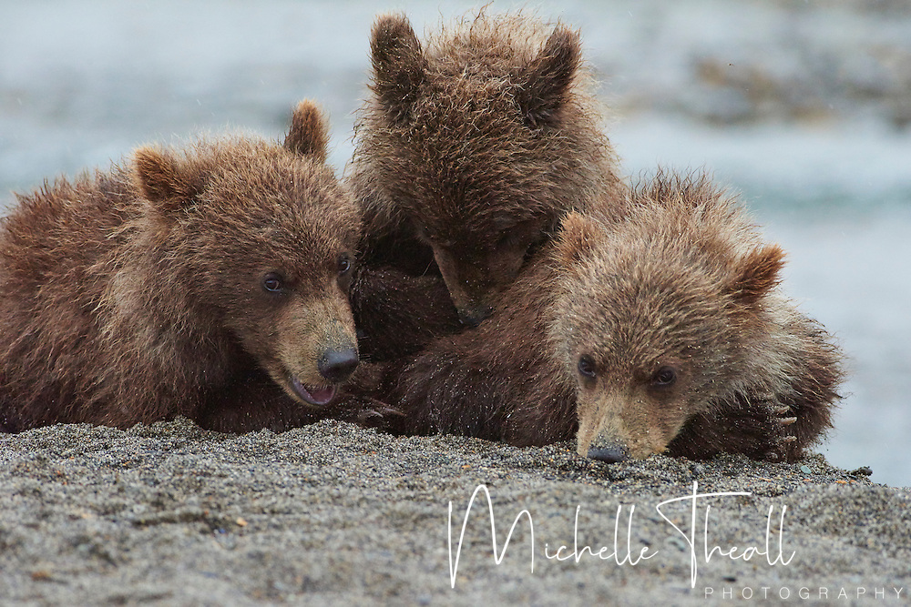 Trio of cubs takes a nap just feet away from a photographer while their mama fishes the river below.