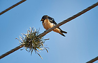 Barn Swallows (Hirundo rustica) perched on a wire, Chapala, Jalisco, Mexico
