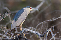 Adult Black-Crowned Night Heron, Chobe River, Kasane, Botswana.