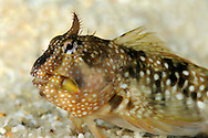 Montagu's Blenny Coryphoblennius galerita Length to 8cm<br /> Colourful and distinctive blenny. Found in pools on rocky coasts, usually on mid-shore. Adult has similar shape overall to Shanny but with more obvious dip in middle of dorsal fin and diagnostic tall, frilly tentacle on centre of forehead, with smaller ones behind. Colour is variable but often marbled black, reddish and blue with pale spots. Locally common but mainly in S and W.