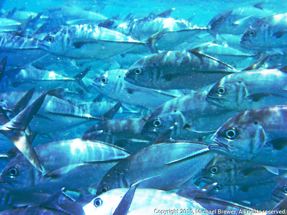 Close-up of a school of mackerel swimming off the coast of Bali, Indonesia.