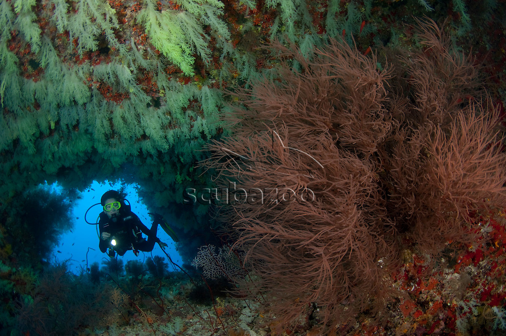 Diving at entrance of cave, walls full of Soft Corals, Bushy Black Coral in foreground, Vaavu Atoll, The Maldives
