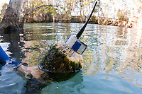 Manatee tracking buoy with Manatee Tag, blue stripes and antenna. Horizontal orientation. Three Sisters Springs, Crystal River National Wildlife Refuge, Kings Bay, Crystal River, Citrus County, Florida USA.