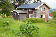 Nyperoser utenfor ei gammel tømmerstue på Selbustrand.