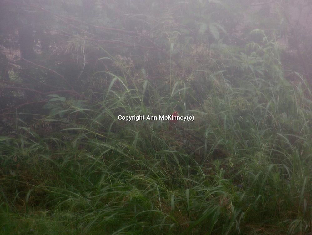 Redbird in the Mist