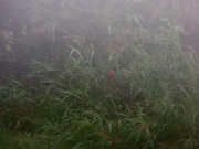 Redbird in the Mist